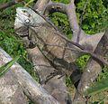 Iguana iguana01.jpg