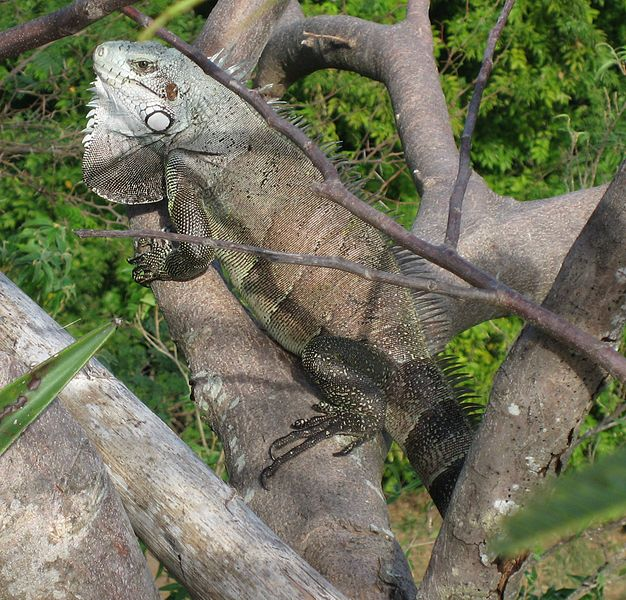 File:Iguana iguana01.jpg