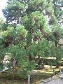 "Ikkyû-ji Buddhist Temple - Cryptomeria japonica ""Sanbon-sugi"".jpg"