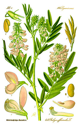 Illustration Galega officinalis1.jpg