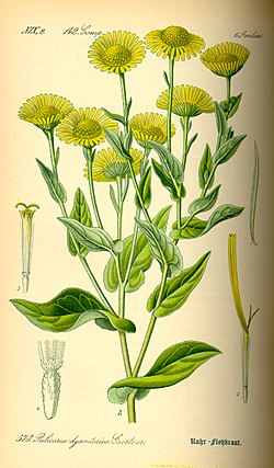 Illustration Pulicaria dysenterica0.jpg