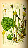 Illustration Tussilago farfara0.jpg