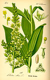 Illustration Veratrum album0.jpg