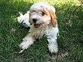 Image-Cavapoo puppy.JPG