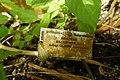 Impatiens mackeyana subsp. claeri-Jardin botanique Meise (4).jpg