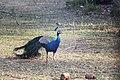 Indian Peafowl (Pavo cristatus).jpg