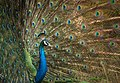 Indian peafowl or blue peafowl (Pavo cristatus).jpg