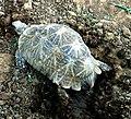 Indian star tortoise (Geochelone elegans) at IGZoo park Vizag 03.JPG