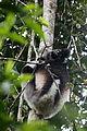 Indri in Andasibe 02.JPG