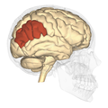 Inferior parietal lobule - lateral view.png