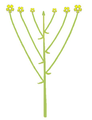 Inflorescence morphology corymb simple.png