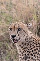 Injured Cheetah Mother (28272561375).jpg