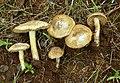 Inocybe chelanensis 216781.jpg