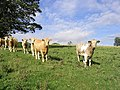 Inquisitive bullocks at Wallington Newhouses - geograph.org.uk - 547481.jpg