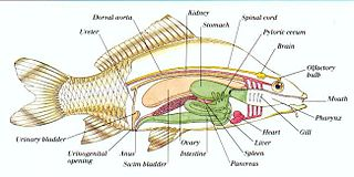 Fish anatomy study of the form or morphology of fishes