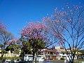 Ipês floridos. - panoramio.jpg