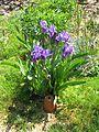 Iris aphylla (8866868656).jpg