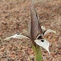 Iris helena-IMG 2215.jpg
