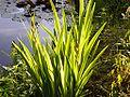 Iris pseudacorus001.jpg