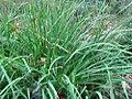 Iris sanguinea 0zz.jpg