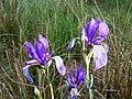 Iris sibirica sl22.jpg