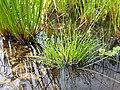 Isolepis setacea sl2.jpg