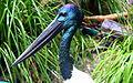 Jabiru (Black Necked Stork), Australia Zoo (3341175686).jpg