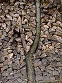 Jabloň, obložená dřevem na topení.JPG
