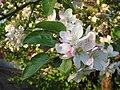Jabuka u cvatu - panoramio.jpg