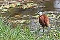 Jacana, African, April 2015, Abuko Nature Reserve (25089985765).jpg