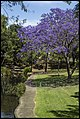Jacaranda by the Grafton Park Creek-1 (22809051792).jpg