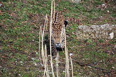 Jaguar (Panthera onca) Zoo Salzburg 2014 a.jpg