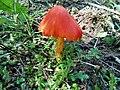Jamur merah langka sumatra utara.jpg