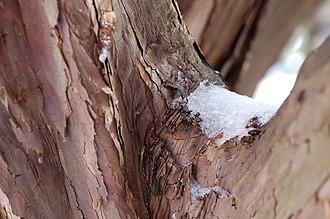 Taxus cuspidata - Image: Japanese Yew Taxus cuspidata Bark 3008px