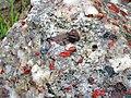 Jasper-quartz pebble conglomerate (Lorrain Formation, Paleoproterozoic, ~2.3 Ga; Ottertail Lake Northeast roadcut, near Bruce Mines, Ontario, Canada) 37 (46793318345).jpg
