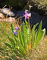 Jeffreys shooting-star Dodecatheon jeffreyi plant backlit.jpg