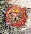 Joshua Tree National Park - Barrel Cactus (Ferocactus cylindraceus) - 1.JPG