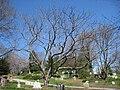 Juglans ailantifolia, Mount Auburn Cemetery.JPG