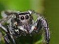 Jumping Spider (Hyllus argyrotoxus) male close-up (12089436814).jpg