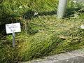 Juncus gerardii - Botanischer Garten, Frankfurt am Main - DSC03231.JPG