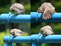 Jungle Babbler Ic2.jpg