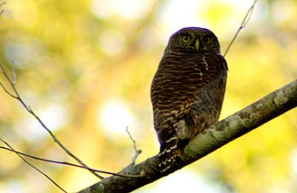 Manas National Park - Jungle owl in manas