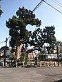 Juniper in Myōhōji (Isogo-ku, Yokohama).jpg