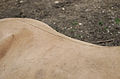 Juraparc 06-07-2013 - Line on the back of a Przewalski's horse.jpg