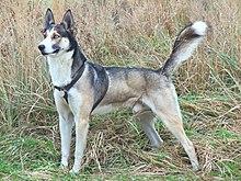 caractère du husky male
