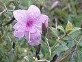 K.Pudur Village Pink thorn flower.jpg