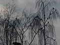 Kalevan naakkoja koivuissa - panoramio.jpg