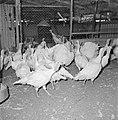 Kalkoenfokkerij in Beit Herut Ren met kalkoenen, Bestanddeelnr 255-4606.jpg