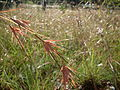 Kangaroo grass (3211364780).jpg