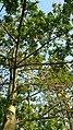 Kapok (Ceiba pentandra) 6.jpg